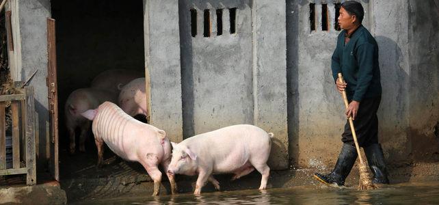 Schweinegrippe Virus China